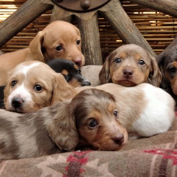 Miniature Dachshunds Puppies – Vancouver Island, Nanaimo, BC